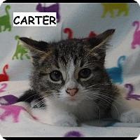 Adopt A Pet :: Carter - Batesville, AR