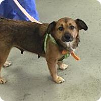 Adopt A Pet :: Marcie - Wytheville, VA