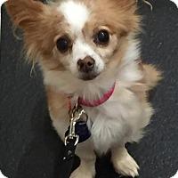 Adopt A Pet :: Poinsettia - Sacramento, CA