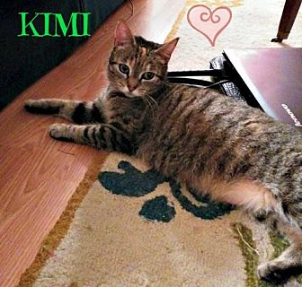 Domestic Shorthair Cat for adoption in knoxville, Tennessee - Kimi Female