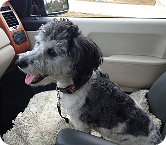Shih Tzu/Dandie Dinmont Terrier Mix Dog for adoption in Irvine, California - Handsome Bernie