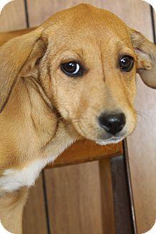 Beagle/Labrador Retriever Mix Puppy for adoption in Hamburg, Pennsylvania - Ellie Mae