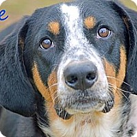 Adopt A Pet :: Ace - Somers, CT