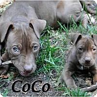 Adopt A Pet :: CoCo - Sylvania, OH
