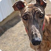 Adopt A Pet :: Beretta (A Star Beretta) - Chagrin Falls, OH
