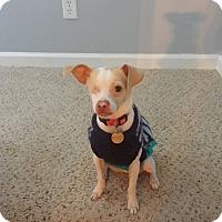 Adopt A Pet :: Percy - Homewood, AL
