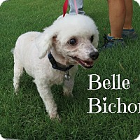 Adopt A Pet :: Belle Bichon - Scottsdale, AZ