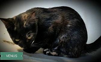 Domestic Shorthair Cat for adoption in Fairborn, Ohio - Venus