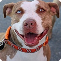 American Staffordshire Terrier Mix Dog for adoption in Boston, Massachusetts - Daisy