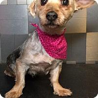 Adopt A Pet :: Sapphire - McKinney, TX