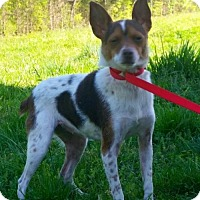 Adopt A Pet :: Bama- cute rat terrier - Staten Island, NY