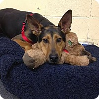 Doberman Pinscher Mix Dog for adoption in Asheville, North Carolina - Travis