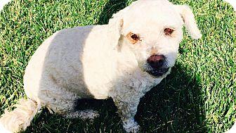 Poodle (Miniature) Mix Dog for adoption in Santa Ana, California - Snowcone (AT)