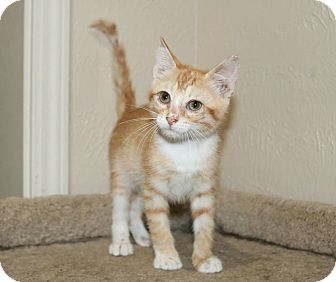 Domestic Shorthair Kitten for adoption in Edmond, Oklahoma - Lucille