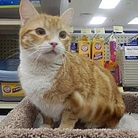 American Shorthair Cat for adoption in New Bern, North Carolina - Tiger