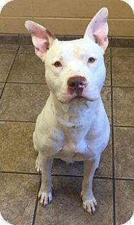 Pit Bull Terrier Mix Dog for adoption in Joplin, Missouri - Liam  Vtg4615