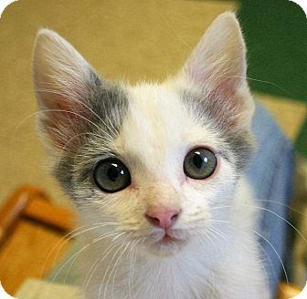 Domestic Shorthair Kitten for adoption in Hastings, Nebraska - Charlie Brown Kittens