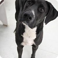 Labrador Retriever Mix Dog for adoption in Penngrove, California - Jax