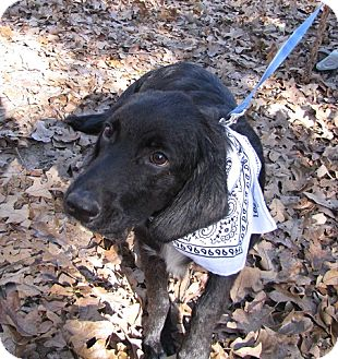 Hound (Unknown Type)/Labrador Retriever Mix Dog for adoption in Providence, Rhode Island - Boone