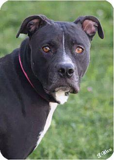 Pit Bull Terrier Mix Dog for adoption in corinne, Utah - Zuma