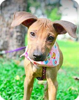 Labrador Retriever/Shar Pei Mix Dog for adoption in San Ramon, California - Bertha