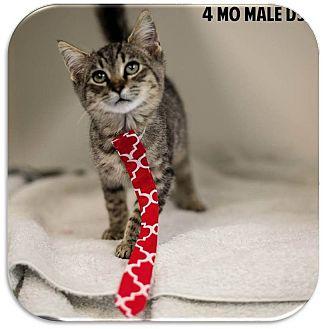 Domestic Shorthair Kitten for adoption in Washington, D.C. - Quinn
