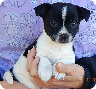 Boston Terrier/Australian Shepherd Mix Puppy for adoption in Williamsport, Maryland - Duffy (3 lb) Video!
