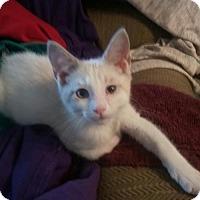 Adopt A Pet :: Baby Simon - Akron, OH