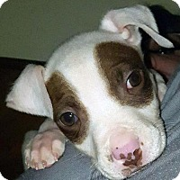 Adopt A Pet :: Patches - Charlotte, NC