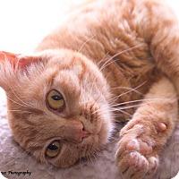 Adopt A Pet :: Ginger Snap - Huntsville, AL