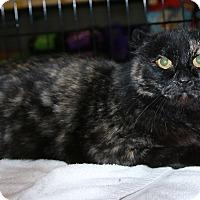 Adopt A Pet :: Cat Burglar - Rochester, MN