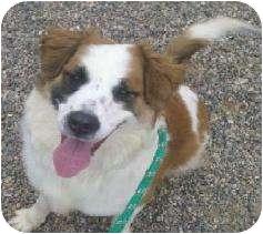 Sheltie, Shetland Sheepdog/St. Bernard Mix Dog for adoption in Glendale, Arizona - Winnie