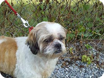 shih tzu rescue va coconut adopted dog tia harrisonburg va shih tzu 6039