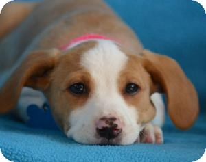 Retriever (Unknown Type)/Beagle Mix Puppy for adoption in Minneapolis, Minnesota - Charlotte