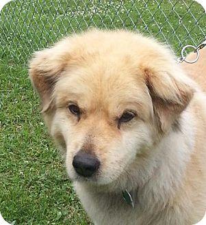 Snuggles 300 Adopted Dog Tia Brattleboro Vt Golden Retriever Chow Chow Mix