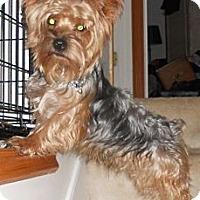 Adopt A Pet :: Yogi - batlett, IL