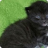 Adopt A Pet :: Chewbaca - Xenia, OH