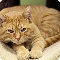 Adopt A Pet :: Lord Navin - Chicago, IL