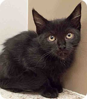 Domestic Shorthair Kitten for adoption in Hinsdale, Illinois - ADOPTED!!!   Cecil