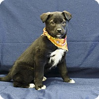 Adopt A Pet :: Inouka - Ile-Perrot, QC