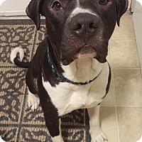 Adopt A Pet :: Niklaus - Bellingham, WA