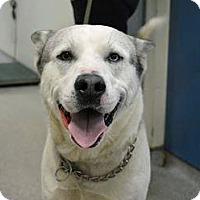 Adopt A Pet :: Koda - Troy, MI