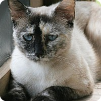 Adopt A Pet :: Yum Yum - North Fort Myers, FL