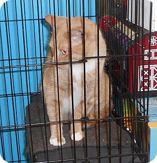 Domestic Shorthair Cat for adoption in Rochester, Minnesota - Milo