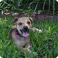 Adopt A Pet :: Jasmine - North Richland Hills, TX