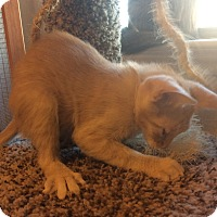 Domestic Shorthair Kitten for adoption in Plano, Texas - PIPER-VERY VOCAL