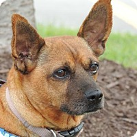 Dachshund/Chihuahua Mix Dog for adoption in Portland, Maine - PRINCESS MARIE