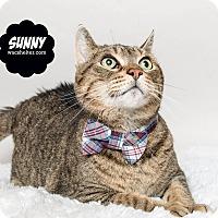 Domestic Shorthair Cat for adoption in Wyandotte, Michigan - Sunny