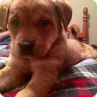 Adopt A Pet :: Emmy Chowefundland - St. Louis, MO