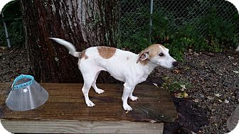 Jack Russell Terrier Mix Dog for adoption in Port Clinton, Ohio - Jackie